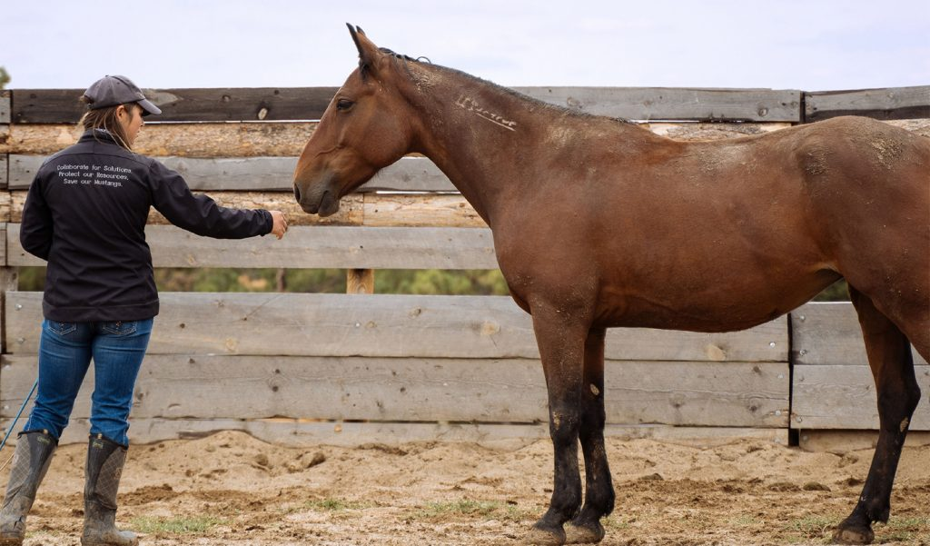 Mustang Heritage Foundation Commitment to Helping Wild Horses Find Homes